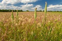 Gelber lauchblättriger Bocksbart, Kansas-Weide Lizenzfreie Stockfotos