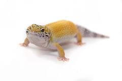 Gelber Leopardgecko auf weißem Hintergrund Lizenzfreies Stockfoto