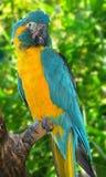 Gelber Macaw Stockbild