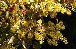 Gelber Mahonia Aquifolium stockfotografie