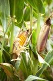 Gelber Mais auf dem Gebiet Lizenzfreies Stockfoto