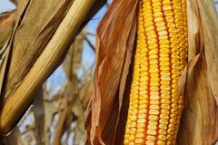 Gelber Mais auf einem Gebiet Stockbild