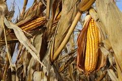 Gelber Mais auf einem Gebiet stockfotos