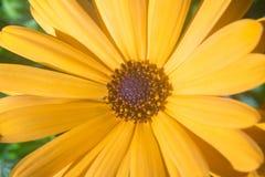 Gelber Margaritagarten-Blumenabschluß oben Stockfoto