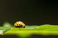 Gelber Marienkäfer auf grünem Blatt stockfoto