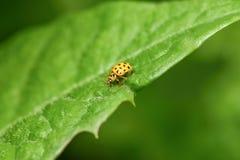 Gelber Marienkäfer, der auf einem grünen Blatt sitzt lizenzfreie stockfotografie