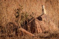 Gelber Mungo im wilden in Kwazulu Natal Lizenzfreie Stockbilder