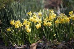 Gelber Narzissen-im Frühjahr Garten Lizenzfreies Stockfoto