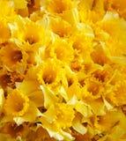 Gelber Narzissenhintergrund Stockfoto