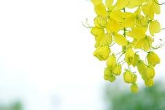 Gelber nationaler Baum Cassia Fistula Iss von Thailand lizenzfreies stockfoto