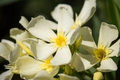 Gelber Neriumoleander, Blumen auf Sonnenuntergang stockbilder