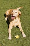 Gelber netter Hund, der auf Gras sitzt Grüner Hintergrund Stockfotografie