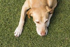 Gelber netter Hund, der auf Gras sitzt Grüner Hintergrund Lizenzfreie Stockfotografie