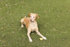 Gelber netter Hund, der auf Gras sitzt Grüner Hintergrund Stockfoto