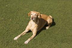 Gelber netter Hund, der auf Gras sitzt Grüner Hintergrund Lizenzfreie Stockfotos