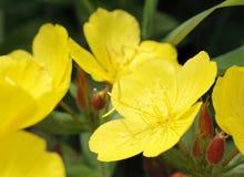 gelber Oenothera Lizenzfreie Stockfotografie