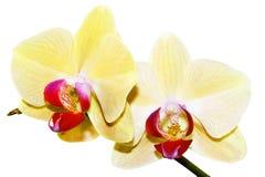 Gelber Orchideezweig Stockbilder