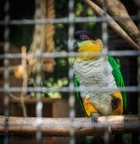 Gelber Papagei, eingesperrt Stockfotos