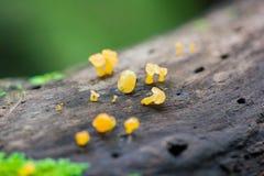 Gelber Pilz auf trockenem Holz im Wald stockbild