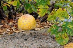 Gelber Pilz, der aus den Grund wächst stockbild