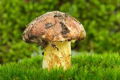 Gelber Pilz des Boletus (Suillus granulatus) Stockbilder