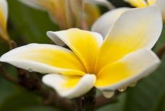 Gelber Plumeria mit Regen-Tropfen Stockfoto