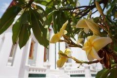 Gelber Plumeria am Tempel Stockfotografie