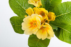 Gelber Primula lizenzfreies stockfoto