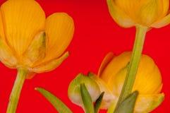 Gelber Pudding knospt mit grünen Blättern auf dem Hintergrund Lizenzfreies Stockfoto