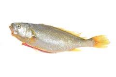 Gelber Quakfisch stockbild