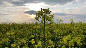 Gelber Raps im blauen Himmel und im grünen Gras Frühlingszeit in Norfolk, England Gelbe Blumen der Ölsaat stock video