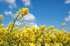 Gelber Rapssamen blüht unter einem blauen Himmel und weißen Wolken Lizenzfreies Stockfoto