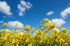 Gelber Rapssamen blüht unter einem blauen Himmel und weißen Wolken Stockbild
