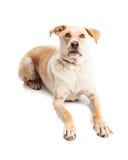 Gelber Retriever-Kreuzungs-Hund, der vorwärts schauen legt Stockbilder