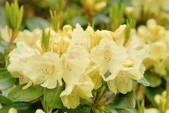 Gelber Rhododendron lizenzfreie stockbilder