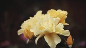 Gelber Rose Summer-Jahreszeit Garten stock footage