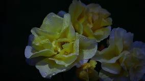 Gelber Rose Summer-Jahreszeit Garten stock video