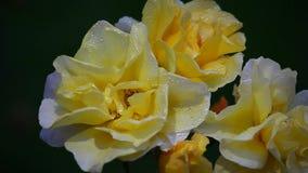 Gelber Rose Summer-Jahreszeit Garten stock video footage