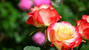 Gelber roter Rose Summer-Jahreszeit Garten stock footage