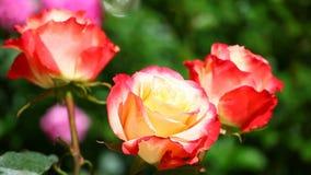 Gelber roter Rose Summer-Jahreszeit Garten stock video