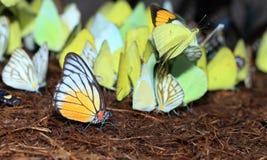 Gelber roter Schmetterling (gemaltes Jezebel). Lizenzfreie Stockfotografie