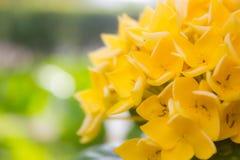 Gelber Rubiaceaeblumenhintergrund Stockfotografie