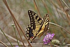 Gelber Schmetterling über einer Rasenfläche Lizenzfreie Stockfotos