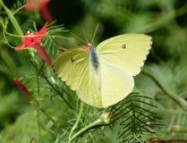 gelber Schmetterling Lizenzfreies Stockbild
