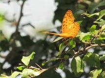 gelber Schmetterling Lizenzfreie Stockfotografie