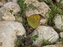 Gelber Schmetterling auf den Steinen Lizenzfreie Stockbilder
