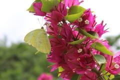Gelber Schmetterling auf magentarotem Bouganvilla Lizenzfreies Stockbild
