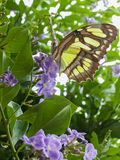 Gelber Schmetterling auf purpurroten Blumen lizenzfreies stockfoto