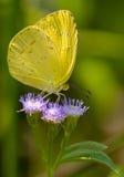 Gelber Schmetterling auf purpurroten Blumen Lizenzfreie Stockfotos