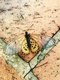 Gelber Schmetterling auf Ziegelsteinen Stockfoto